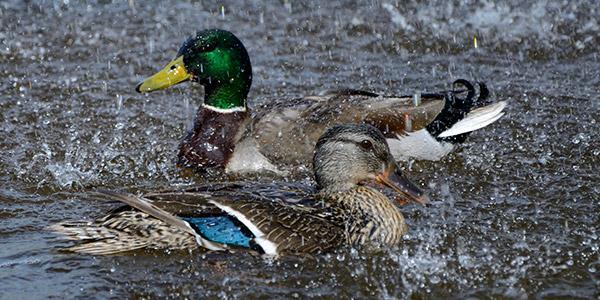Lovely weather for ducks!