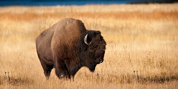 Are investors being buffaloed?